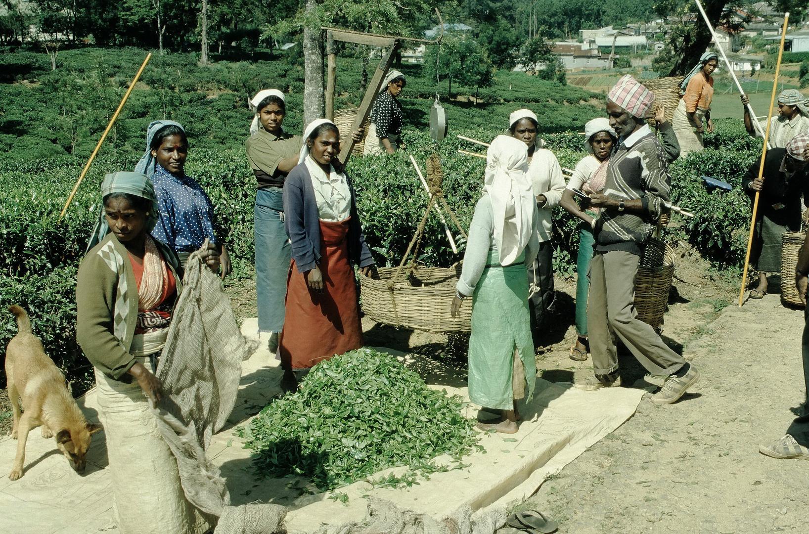 Teepflückerinnen Bild6