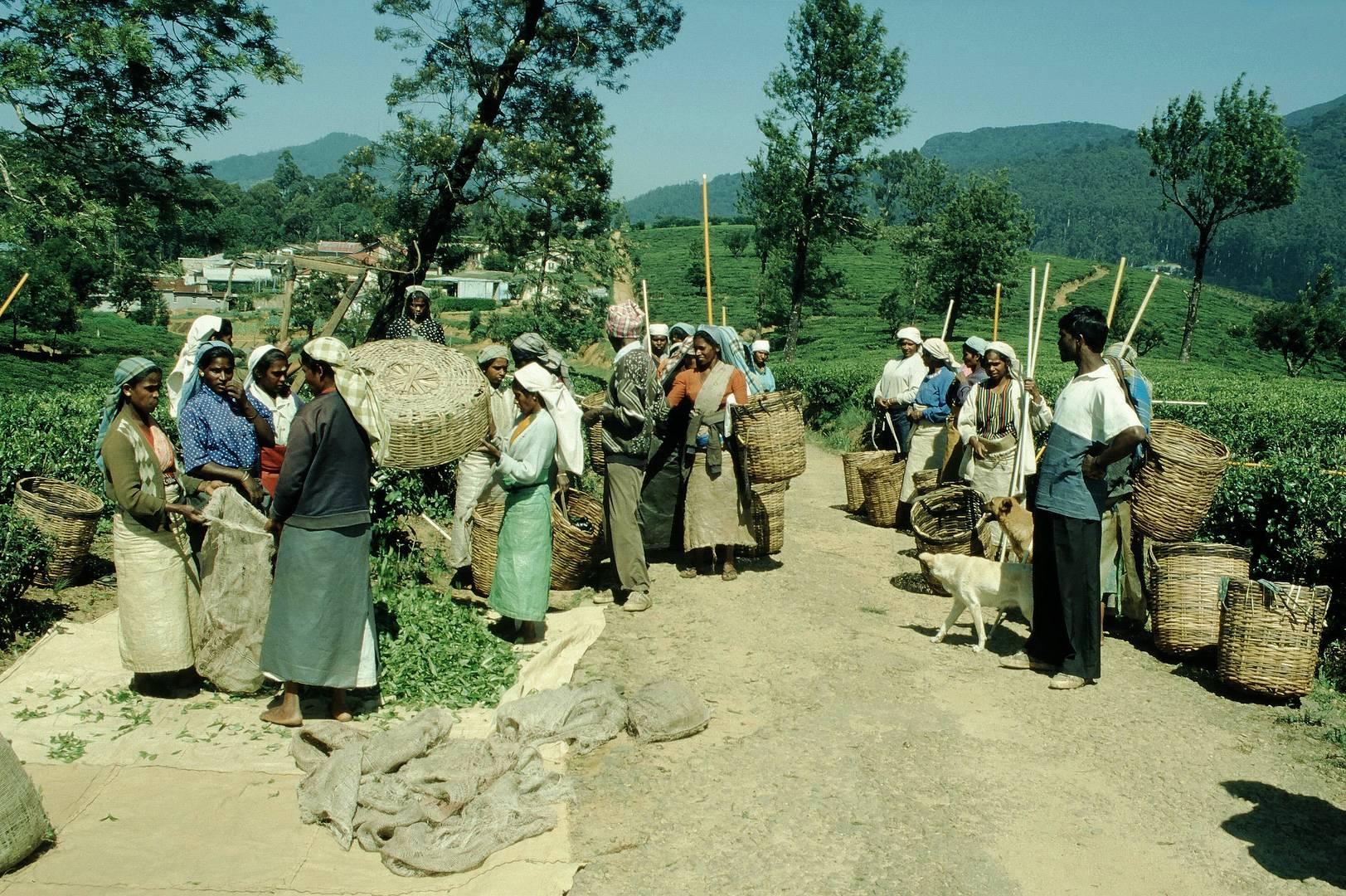 Teepflückerinnen in SriLanka Bild8