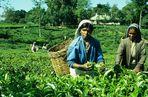 Teepflückerinnen, Sri Lanka 2001
