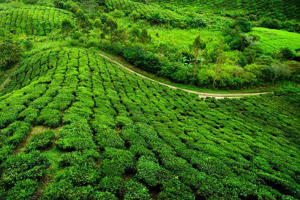 Teeplantage....