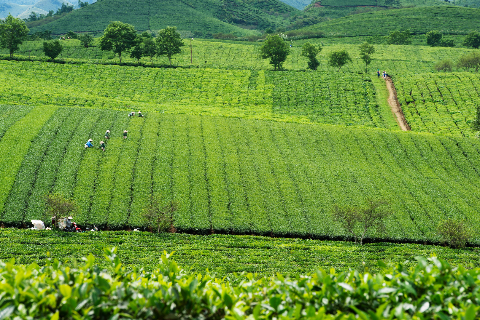 Teeplantage in Moc Chau, Nordvietnam 2010