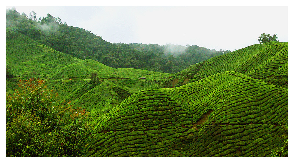 Teeplantagen Malaysia