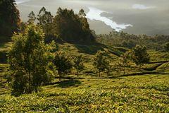 Teeplantagen Morgenlicht, Kerala, Indien + Reisestory zum Foto