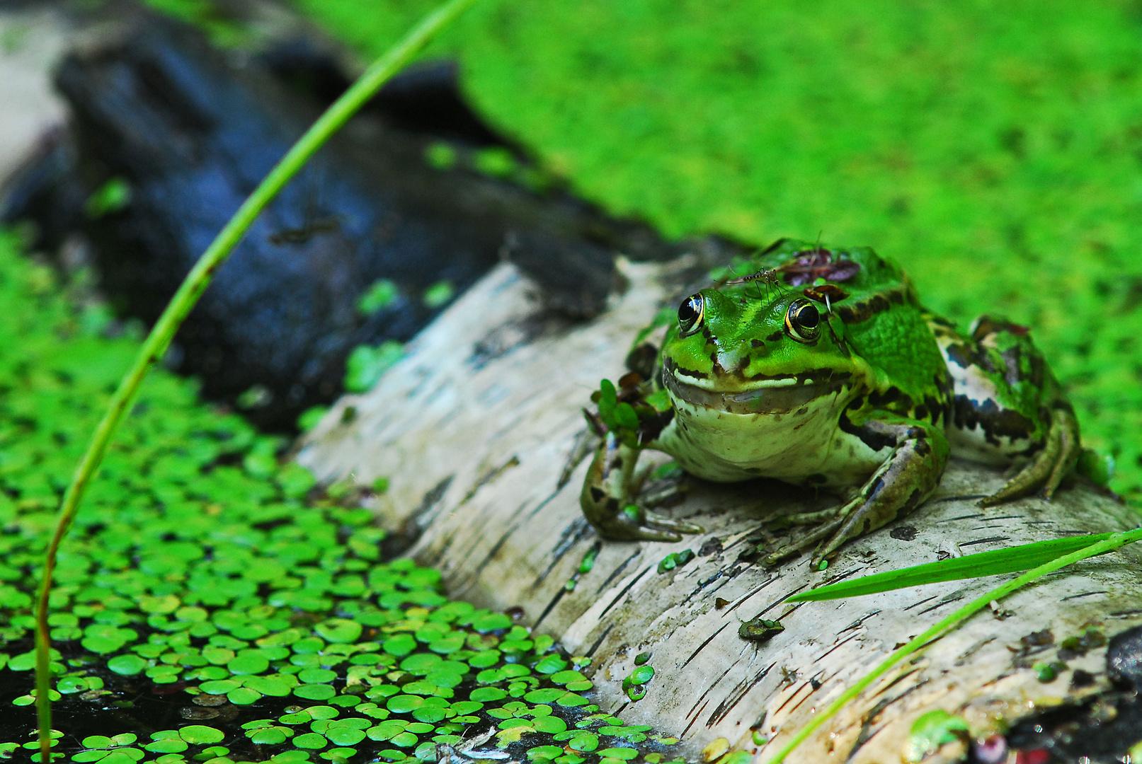 Teich Frosch