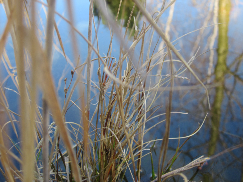 Teich Gras