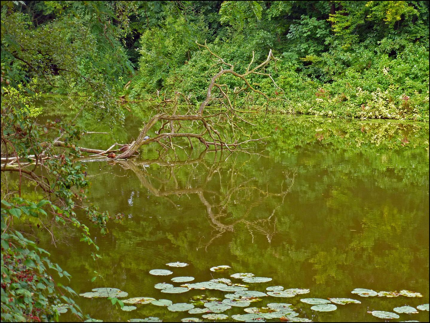 Teich in den Ruhrauen - Essen-Heisingen (2)