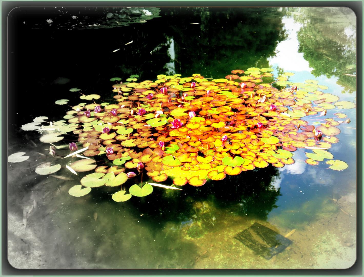 Teich mit Rosen