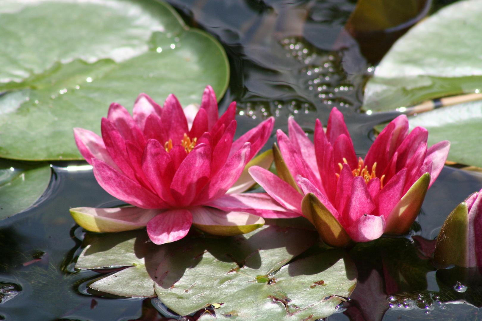 Teich-Schönheit