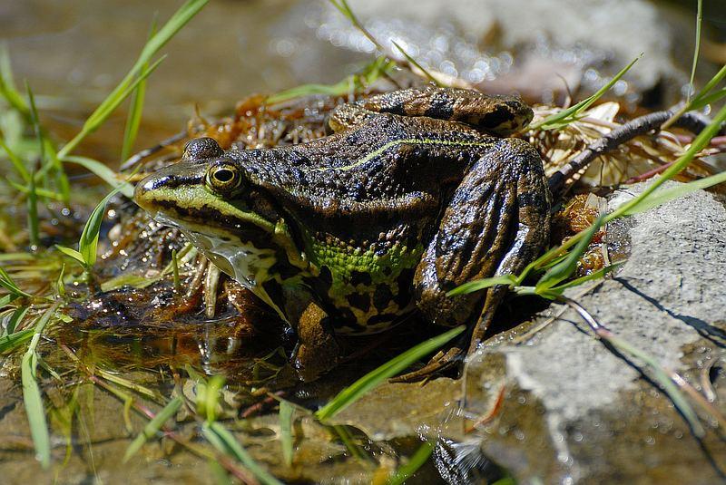 Teichfrosch aus dem eigenen Teich