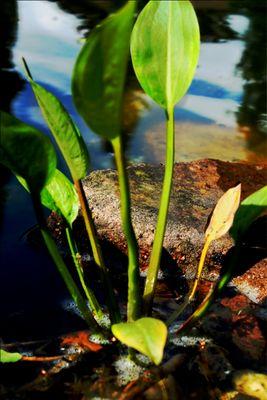 -Teichpflanze-