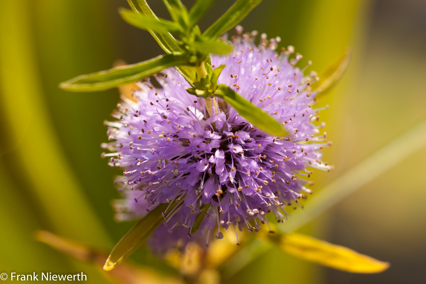 Teichrand Blume