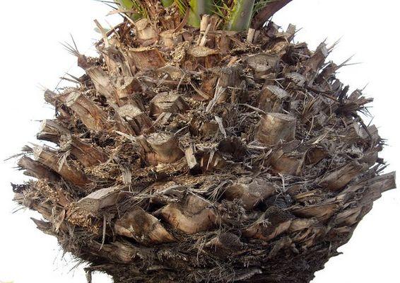 Teil einer Palme