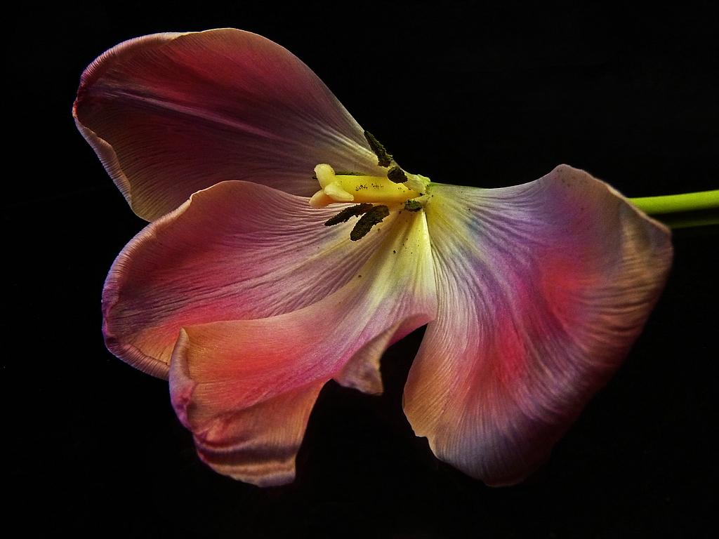 Teil einer Tulpe