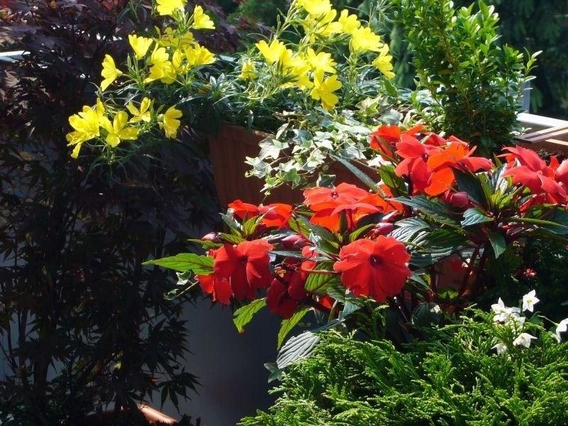 Teil meiner Balkonbepflanzung Bild 2