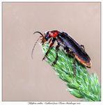 Téléphore sombre - Cantharis fusca. Coléoptère de la famille des Cantharidae