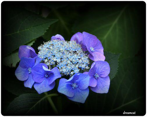 Tellerhortensie blau