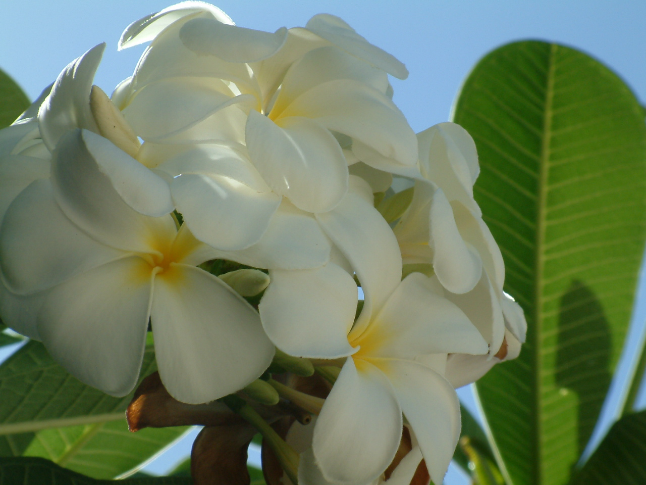 Tempelblumen auf Sansibar