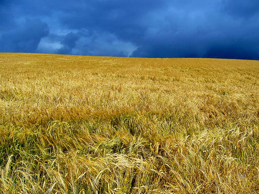 Temporale sul campo di grano