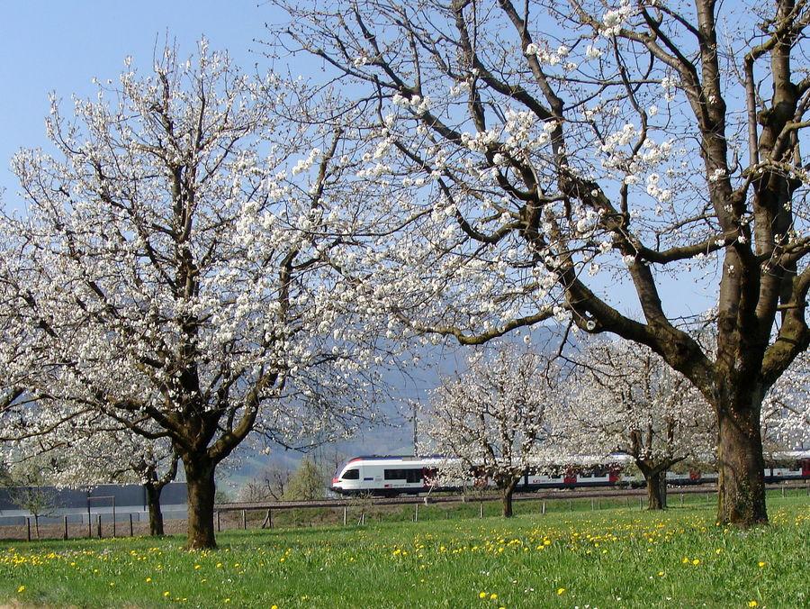 temps des cerisiers en fleurs..01