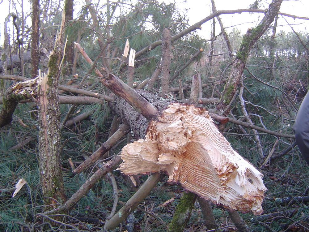 Tempête janvier 09 -Landes de Gascogne-