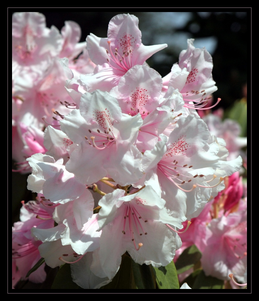 tendre rhododendron
