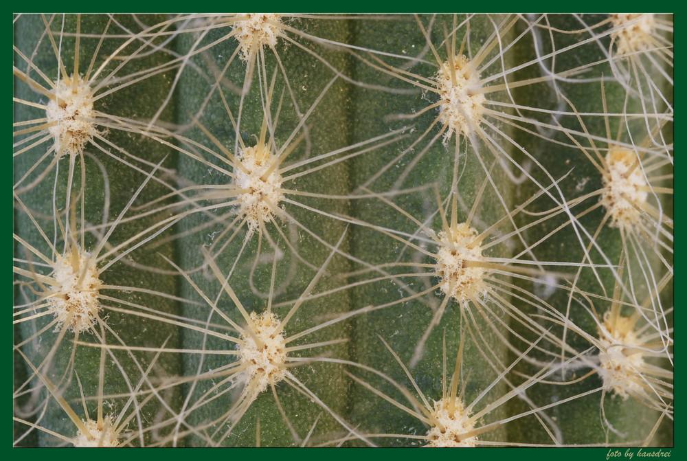 Tentakeln eines Kaktusses