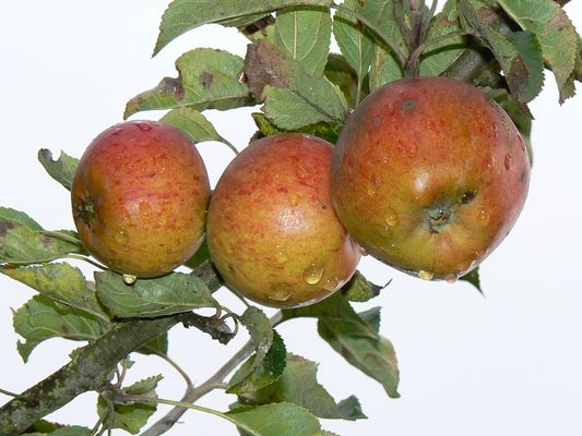 Terence Gourlay Apples in Scotland