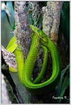 Terra-Zoo Rheinberg - grüne Mamba
