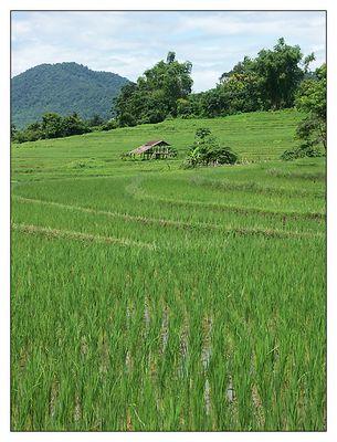 Terrassen aus Reis - Luang Prabang, Laos