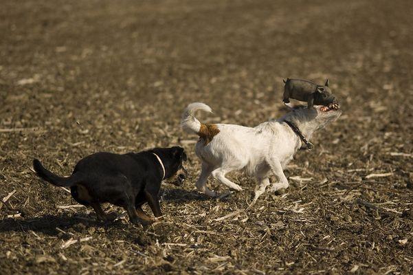 Terrier beim Sauenapport