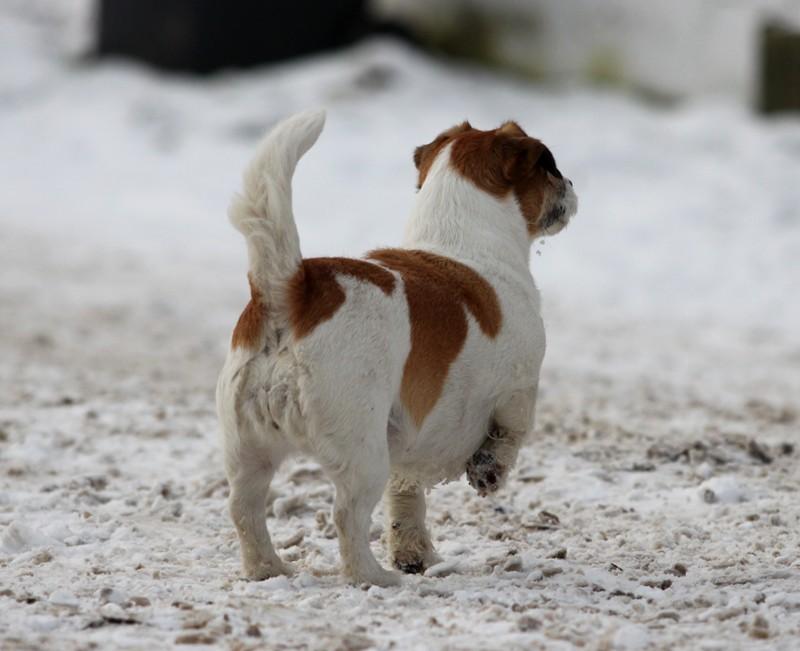 Terrier von Hinten
