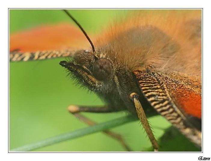 Testa di Nimphalidae-Vanessa Io