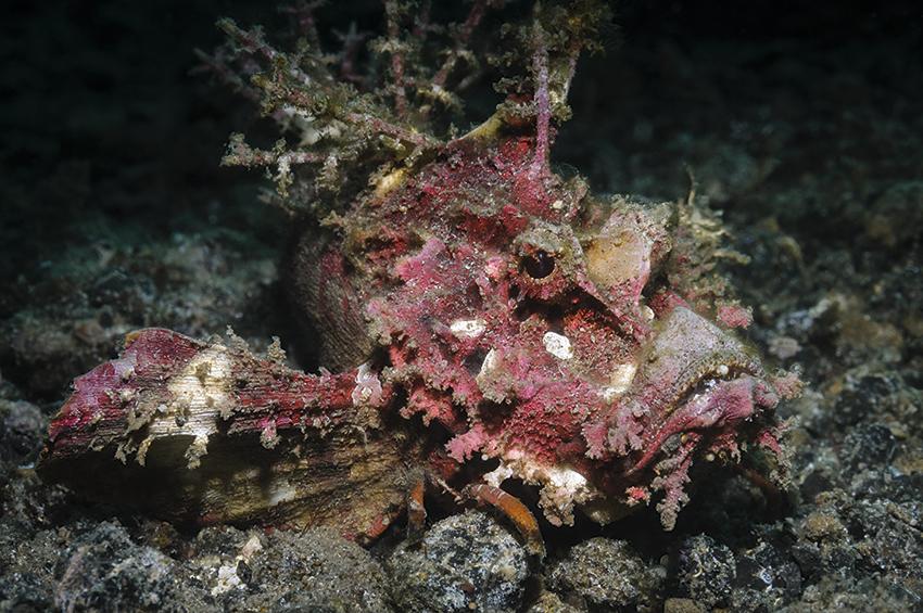 Teufel-Skorpionfisch