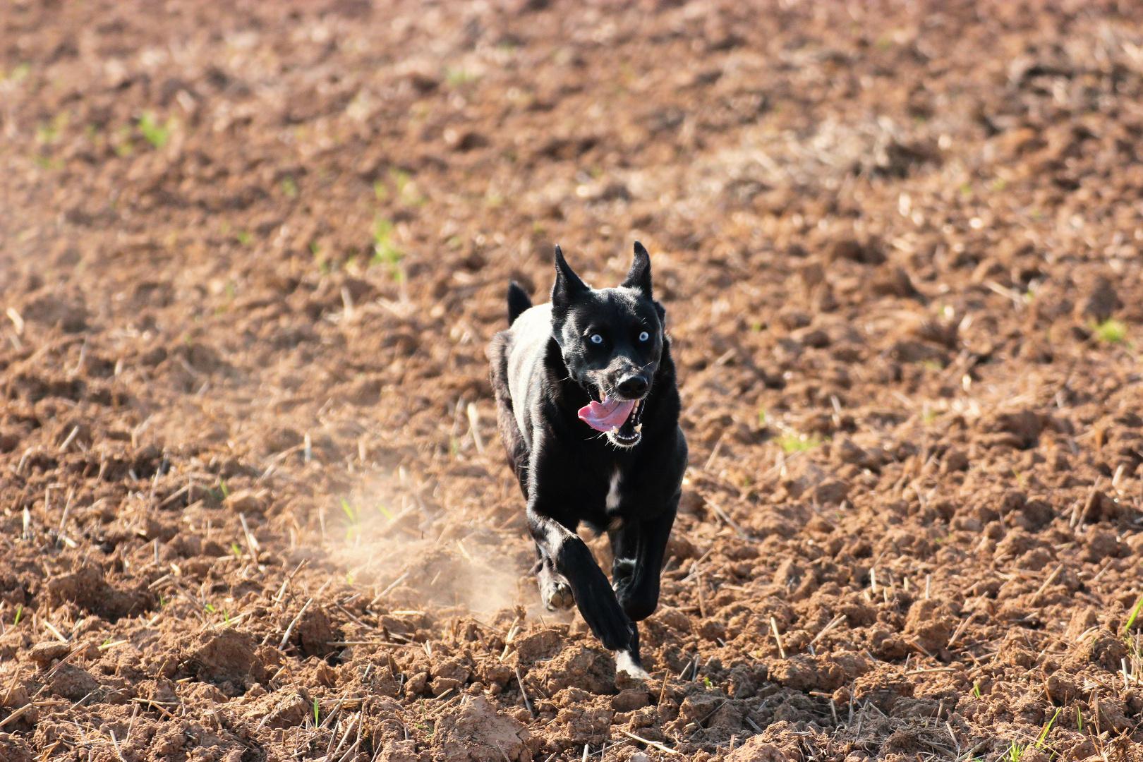 Teutonenhund im Anflug II