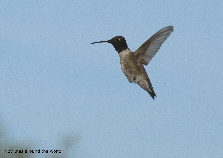 Texas Hummingbird 2