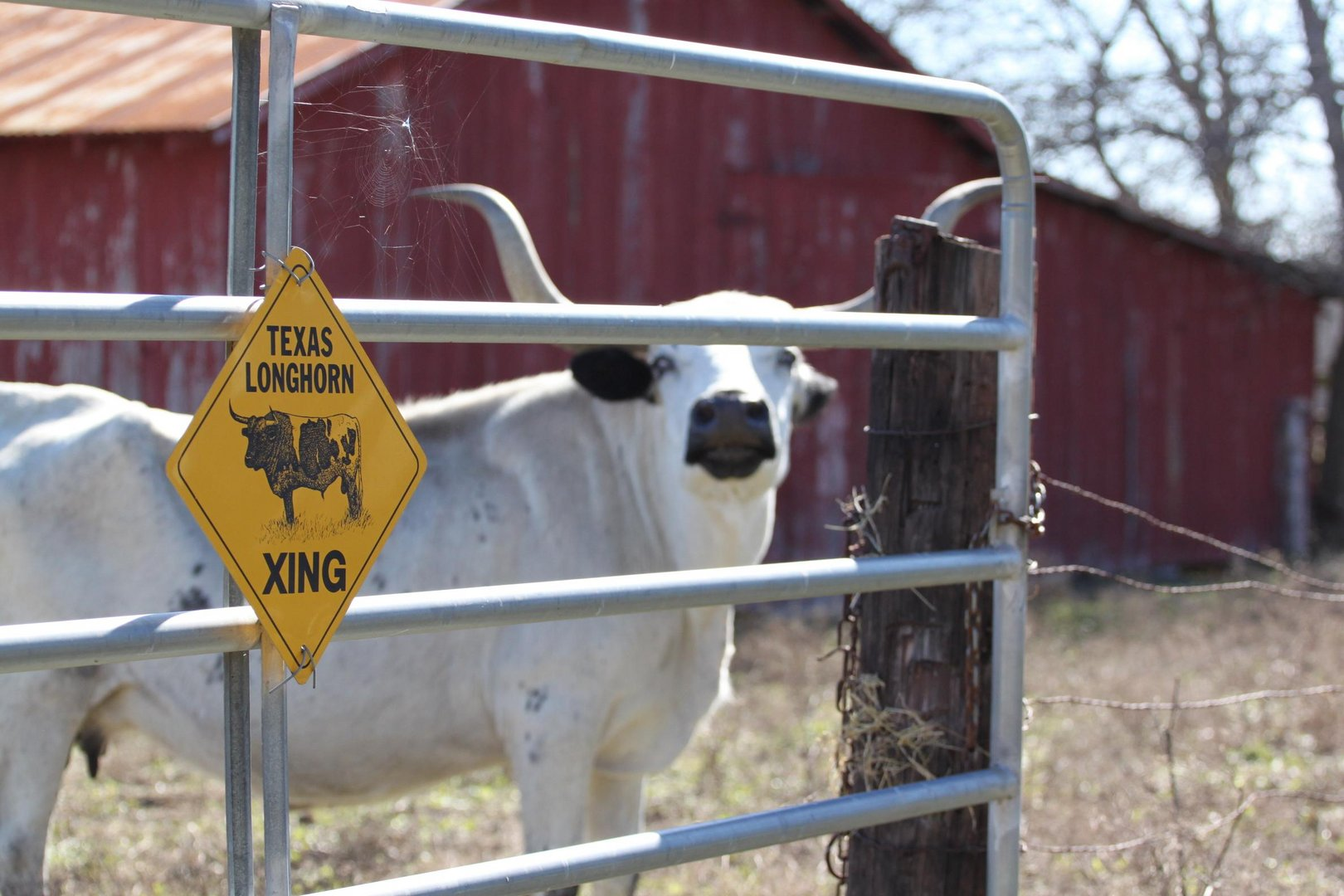Texas Longhorns Xing