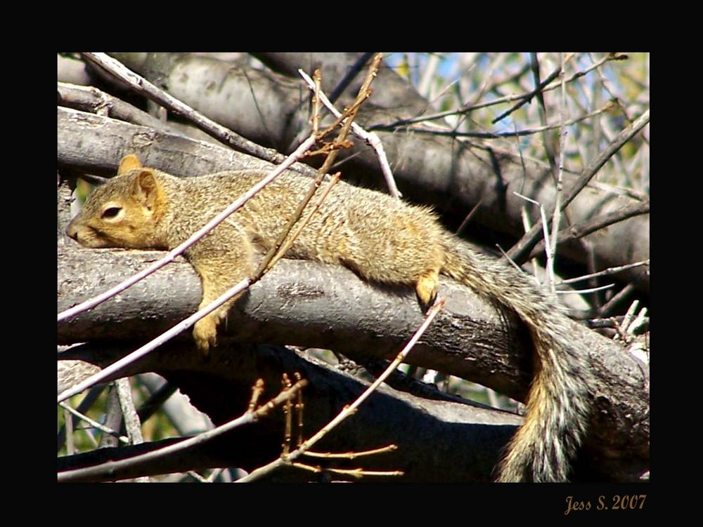 Texas Squirrel
