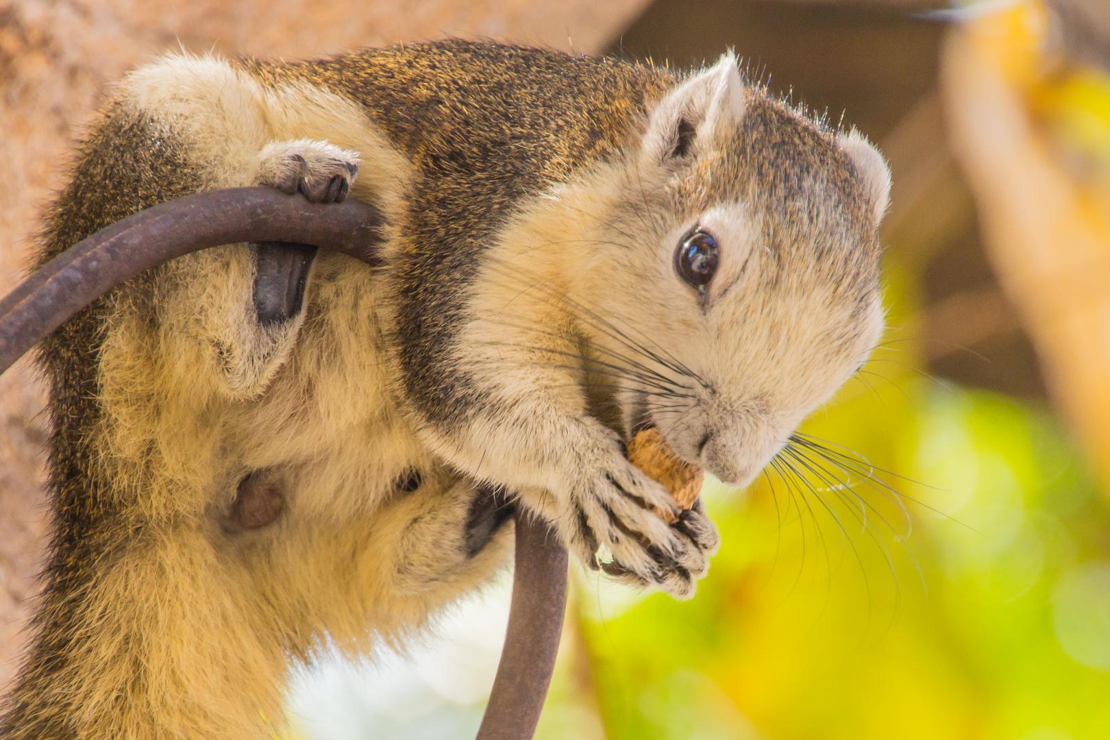 Thailändisches Eichhörnchen im Wat Pho - Bangkok