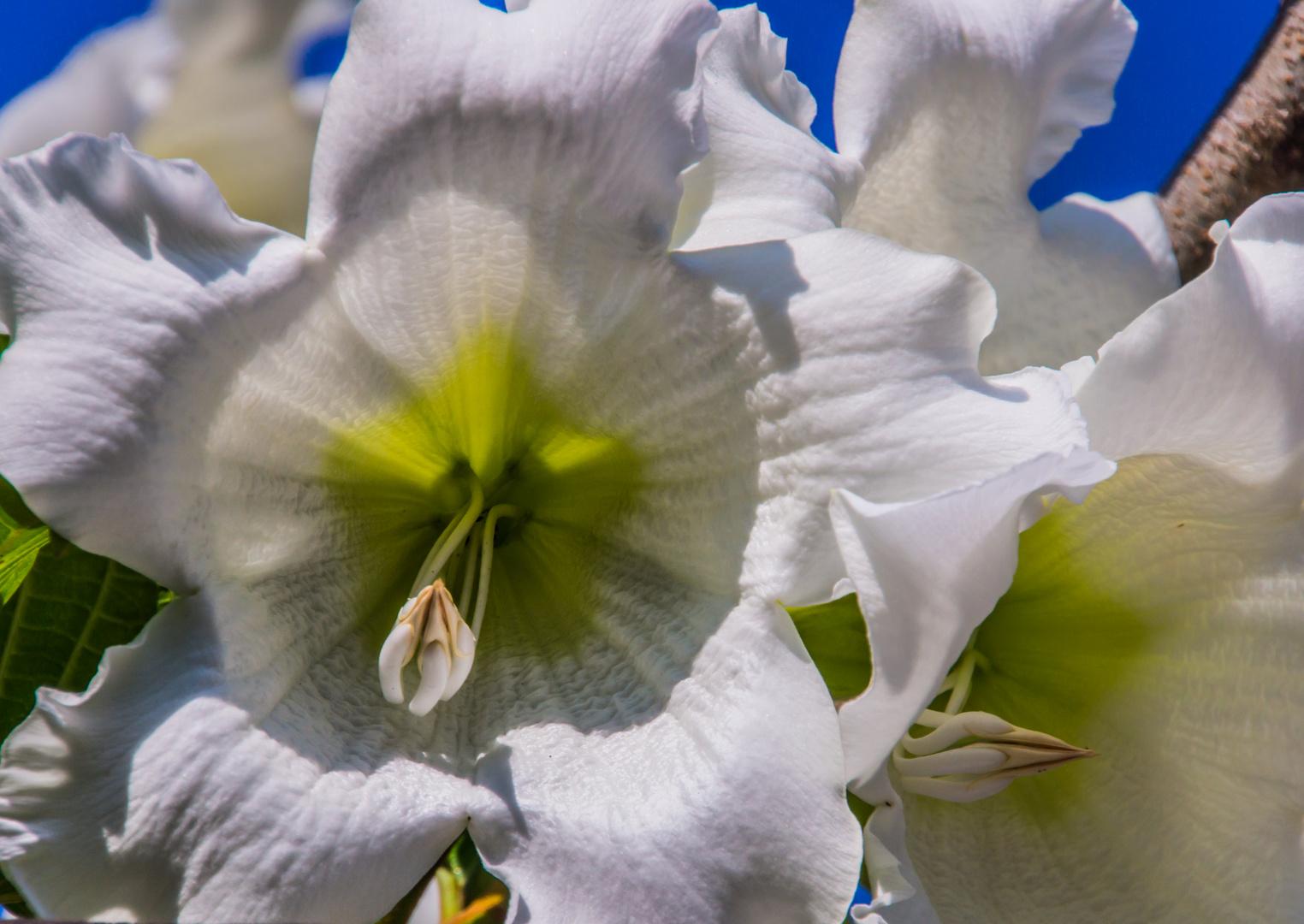 Thailands Blüten II