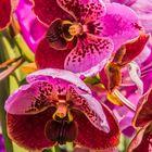 Thailands Blüten VI - Orchideen