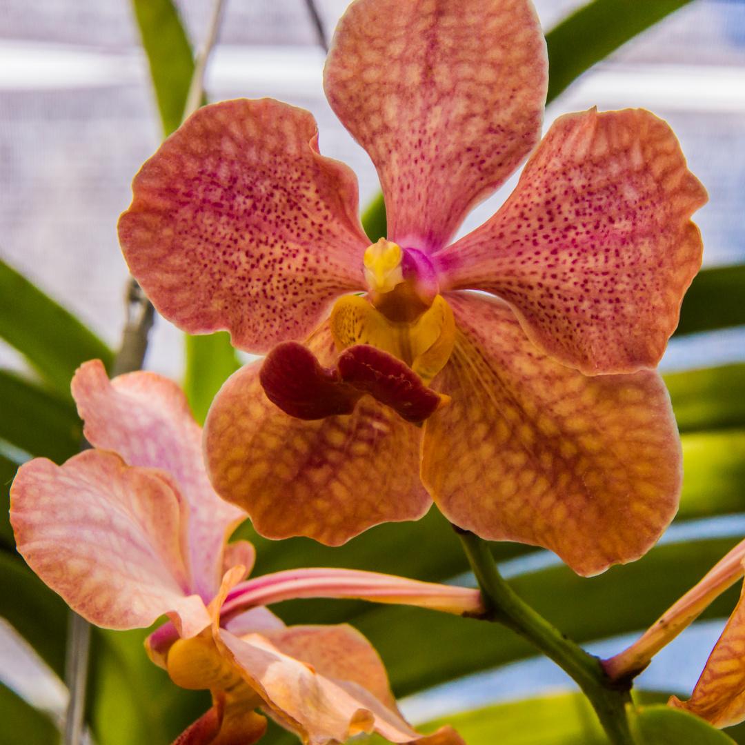 Thailands Blüten VII - Orchideen