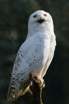 the arctic owl...