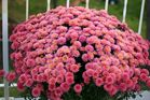 ..the are called MUMS...