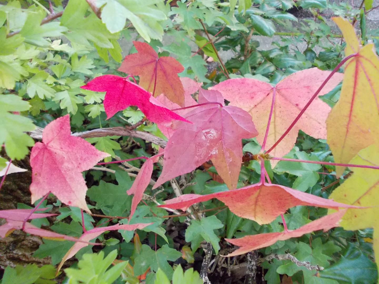 the autumn leaves of red and gold