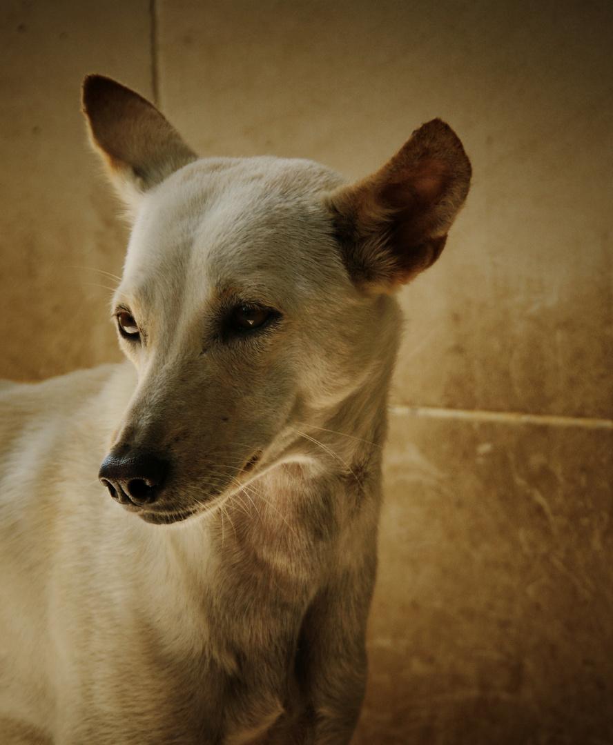 The Bali Dog