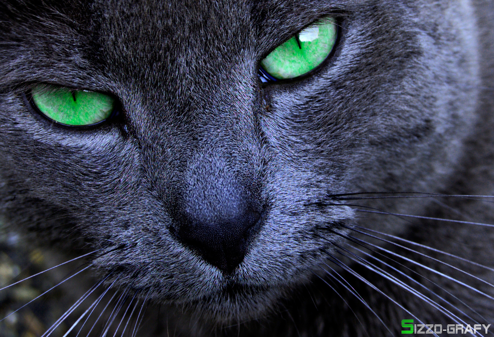 The beautiful cat with green eyes