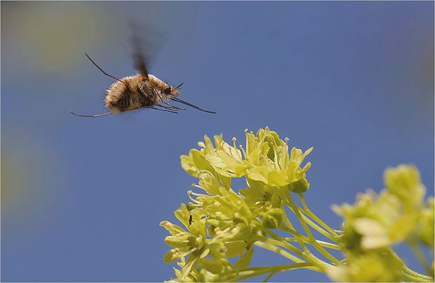 The bee-fly