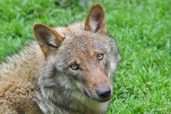 The big bad wolf...!