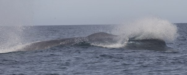 The bigest one... blue whale