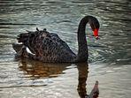 The Black Swan...